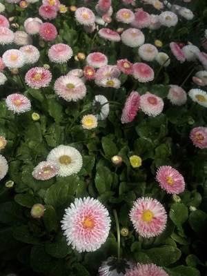 Daisy English Tasso Strawberries & Cream - Bellis perennis -  std pot